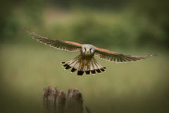 Volo comune del Kestrel del maschio verso la macchina fotografica Immagini Stock Libere da Diritti
