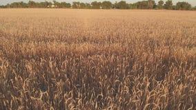 Volo con rotazione sopra un giacimento di grano con le orecchie dorate al tramonto 100mbps archivi video