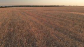 Volo con rotazione sopra un giacimento di grano con le orecchie dorate al tramonto 100mbps stock footage