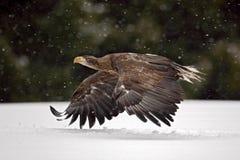 Volo dalla coda bianca di Eagle della rapace nella tempesta della neve con il fiocco della neve durante l'inverno Immagine Stock