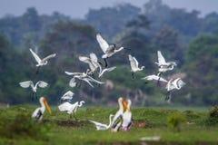 Volo degli uccelli acquatici nella laguna della baia di Arugam, Sri Lanka Fotografia Stock Libera da Diritti