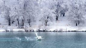 Volo dei cigni delle coppie sul lago fotografia stock libera da diritti