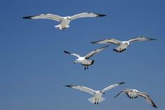 Volo dei gabbiani Fotografia Stock
