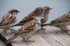 Volo dei passeri curiosi Fotografia Stock Libera da Diritti