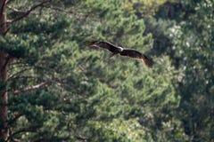 Volo del cervo volante Fotografie Stock Libere da Diritti