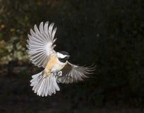 Volo del chickadee di Carolina (carolinensis di Poecile) Immagini Stock Libere da Diritti