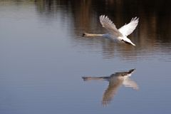 Volo del cigno Fotografia Stock