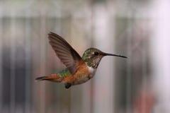 Volo del colibrì fotografia stock