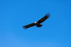 Volo del condor fotografie stock