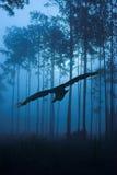Volo del corvo attraverso la foresta di notte fotografia stock