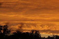 Volo del corvo davanti alle nuvole di pioggia al tramonto Fotografia Stock