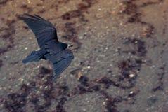 Volo del corvo della spiaggia sopra la spiaggia Fotografie Stock