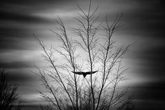 Volo del corvo dopo un albero nudo un giorno freddo dell'autunno fotografia stock
