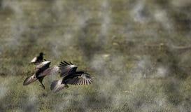 Volo del corvo sopra la nuvola un giorno nebbioso fotografia stock