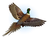 Volo del fagiano di Ringnecked Fotografia Stock