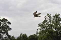 Volo del falco Fotografia Stock