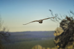 Volo del falco, cherrug del Falco immagine stock