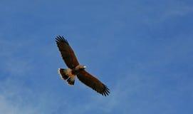 Volo del falco del Harris Immagini Stock