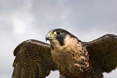 Volo del falco di straniero Immagini Stock Libere da Diritti