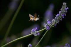 Volo del falco-lepidottero del colibrì su un fiore della lavanda immagine stock