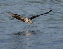 Volo del falco pescatore appena prima afferrare un pesce Immagine Stock Libera da Diritti