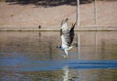 Volo del falco pescatore con un pesce Fotografia Stock Libera da Diritti