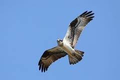 Volo del falco pescatore sopraelevato Fotografia Stock