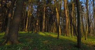 Volo del fuco attraverso gli alberi forestali stock footage