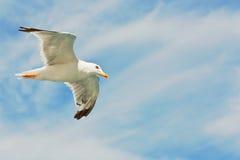 Volo del gabbiano Fotografie Stock