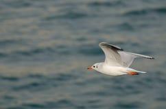 Volo del gabbiano Fotografia Stock