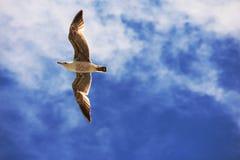 Volo del gabbiano attraverso il cielo Fotografia Stock Libera da Diritti