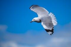 Volo del gabbiano in cielo blu Immagini Stock