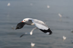 Volo del gabbiano con il fondo della sfuocatura Immagine Stock Libera da Diritti