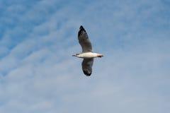 Volo del gabbiano con il fondo della sfuocatura degli azzurri Immagini Stock Libere da Diritti