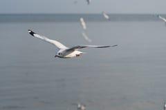 Volo del gabbiano con il fondo della sfuocatura del mare Fotografia Stock