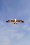 Volo del gabbiano contro il cielo blu Fotografie Stock