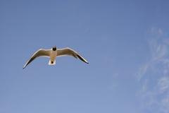 Volo del gabbiano nel cielo Fotografia Stock Libera da Diritti