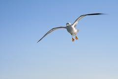 Volo del gabbiano nell'aria Fotografie Stock