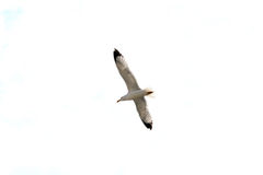 Volo del gabbiano o del gabbiano reale nordico, isolato Fotografia Stock Libera da Diritti