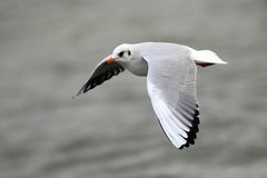 Volo del gabbiano sopra il fiume Fotografia Stock
