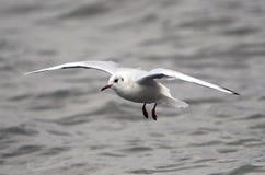 Volo del gabbiano sopra il fiume Immagini Stock