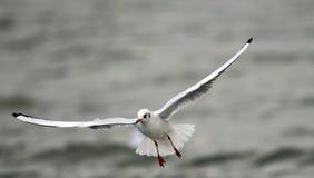 Volo del gabbiano sopra il fiume Fotografia Stock Libera da Diritti