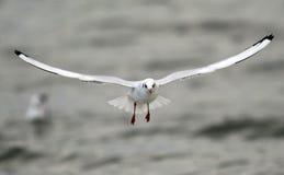Volo del gabbiano sopra il fiume Fotografie Stock