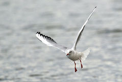 Volo del gabbiano sopra il fiume Immagine Stock