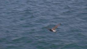 Volo del gabbiano sopra il mare archivi video