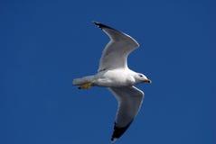 Volo del gabbiano sul cielo blu Immagini Stock