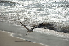 Volo del gabbiano sulla spiaggia fotografia stock