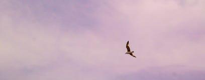 Volo del gabbiano in un cielo viola Immagini Stock Libere da Diritti