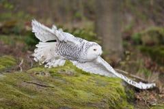 Volo del gufo dello Snowy (scandiaca di Nyctea) immagine stock libera da diritti