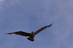 Volo del labbo con le ali aperte Fotografie Stock